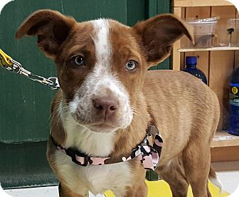 Terrier (Unknown Type, Medium) Mix Puppy for adoption in Detroit, Michigan - SweetTart-Adopted!