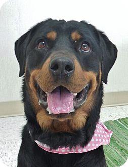 Rottweiler Dog for adoption in Chambersburg, Pennsylvania - Jade