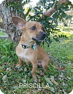 Dachshund Mix Dog for adoption in Troutville, Virginia - Priscilla