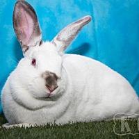 Adopt A Pet :: Fleur - Pflugerville, TX