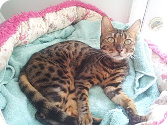 Bengal Cat for adoption in Lantana, Florida - Angel