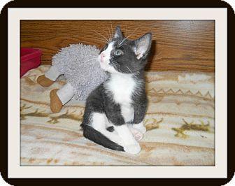Domestic Shorthair Cat for adoption in Medford, Wisconsin - TUCKER