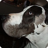 Adopt A Pet :: Dukie - Phoenix, AZ