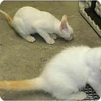 Adopt A Pet :: Marshmallow - Greenville, SC