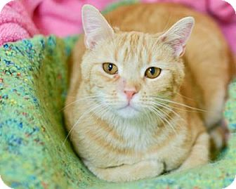 Domestic Shorthair Cat for adoption in West Des Moines, Iowa - Cindy Lou