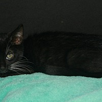 Domestic Mediumhair Kitten for adoption in Riverside, California - Dudley