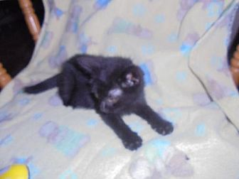 Domestic Mediumhair Kitten for adoption in Trexlertown, Pennsylvania - kolby