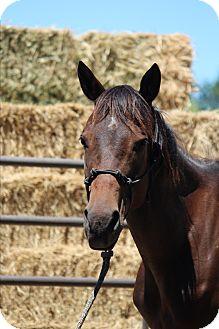 Quarterhorse Mix for adoption in Oakdale, California - Shasta