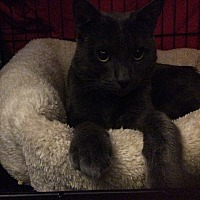 Domestic Shorthair Cat for adoption in New York, New York - Midnight
