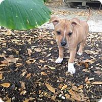 Adopt A Pet :: Natalie - New Port Richey, FL