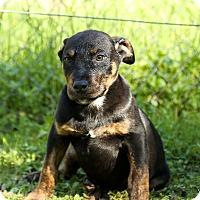 Adopt A Pet :: Pippi Longstockings - Auburn, CA