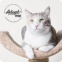Adopt A Pet :: Patches - Apache Junction, AZ