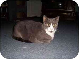 Domestic Shorthair Cat for adoption in North Plainfield, New Jersey - Ashley
