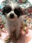 Maltese/Poodle (Toy or Tea Cup) Mix Puppy for adoption in Manchester, Connecticut - Lelu ADOPTION PENDING