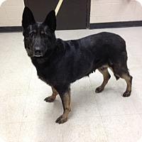 Adopt A Pet :: Sugar Bear - Willington, CT