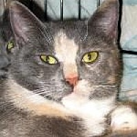 Domestic Shorthair Cat for adoption in Brainardsville, New York - Brooklyn