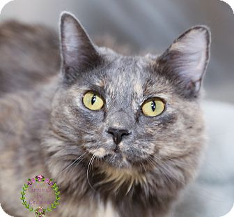Domestic Longhair Cat for adoption in Sierra Vista, Arizona - CeeCee