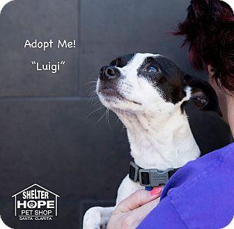 Jack Russell Terrier/Bulldog Mix Dog for adoption in Valencia, California - Luigi