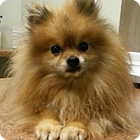Adopt A Pet :: Juju - Muskegon, MI