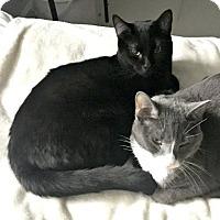 Bombay Cat for adoption in Brooklyn, New York - Marco Polo, adventurous bombay kitten!