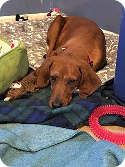 Redbone Coonhound/Hound (Unknown Type) Mix Puppy for adoption in Staunton, Virginia - Sarge