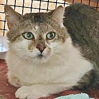 Adopt A Pet :: Dundee - BARN CAT - Salisbury, MA