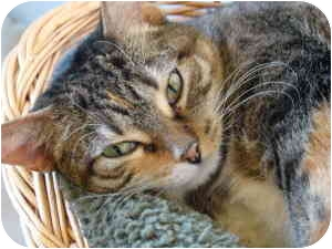 Domestic Shorthair Cat for adoption in Chicago, Illinois - Cora