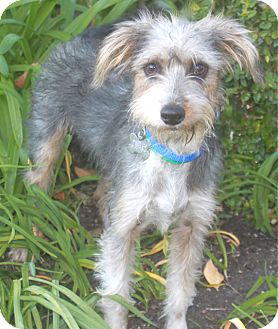 Schnauzer (Miniature)/Yorkie, Yorkshire Terrier Mix Dog for adoption in Norwalk, Connecticut - Johnny