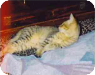 Domestic Shorthair Kitten for adoption in Fayette, Missouri - Fern