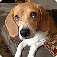Adopt A Pet :: Penny - Minnetonka, MN