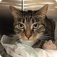 Adopt A Pet :: Socks - Pittstown, NJ