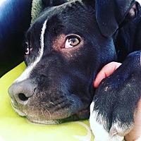 Adopt A Pet :: Vader - Reisterstown, MD