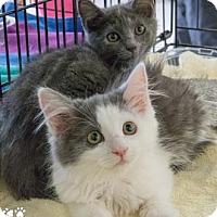Adopt A Pet :: Uni - Merrifield, VA