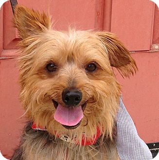 Silky Terrier Dog for adoption in Van Nuys, California - NICKY