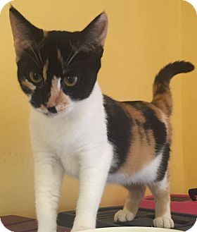 Calico Kitten for adoption in Encinitas, California - Clarissa