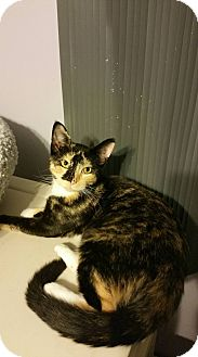Domestic Shorthair Cat for adoption in Virginia Beach, Virginia - Kila