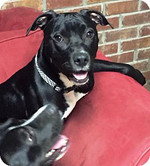 Staffordshire Bull Terrier/Terrier (Unknown Type, Medium) Mix Dog for adoption in Goodlettsville, Tennessee - Sapphire
