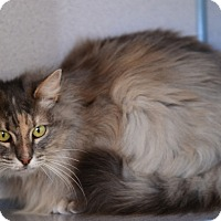 Domestic Longhair Cat for adoption in Gardnerville, Nevada - Dandelion