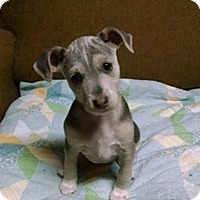 Adopt A Pet :: Tia - Great Falls, VA