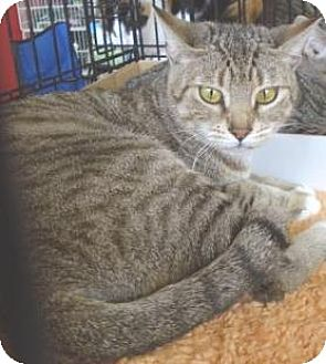 Domestic Shorthair Cat for adoption in Miami, Florida - Profanity