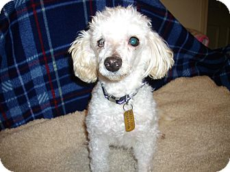 Poodle (Toy or Tea Cup) Mix Dog for adoption in Sheridan, Oregon - Snowball