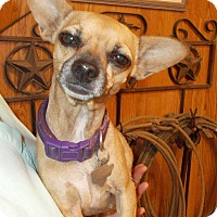 Chihuahua Mix Dog for adoption in Weatherford, Texas - CHARLOTT