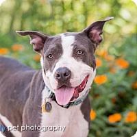 Adopt A Pet :: zzCecily - Dallas, TX