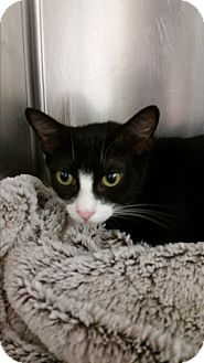 Domestic Shorthair Cat for adoption in Paducah, Kentucky - Momma Baby