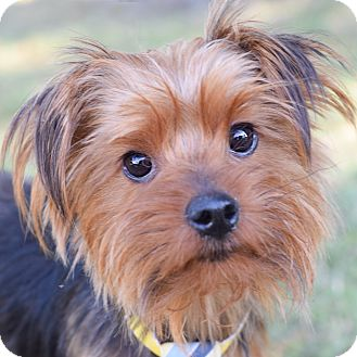 Yorkie, Yorkshire Terrier Mix Dog for adoption in Denver, Colorado - Phinneas