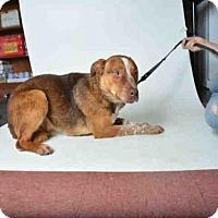 Adopt A Pet :: ABBOTT - Ukiah, CA