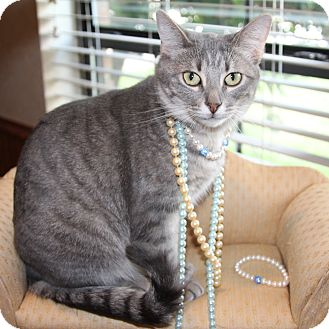 Domestic Shorthair Cat for adoption in Arlington/Ft Worth, Texas - Gina