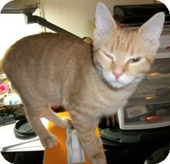 Domestic Shorthair Cat for adoption in Philadelphia, Pennsylvania - Janet