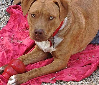 American Staffordshire Terrier/Labrador Retriever Mix Dog for adoption in Burbank, California - Adorable Chesney-VIDEO