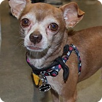 Chihuahua Dog for adoption in Centreville, Virginia - Corey